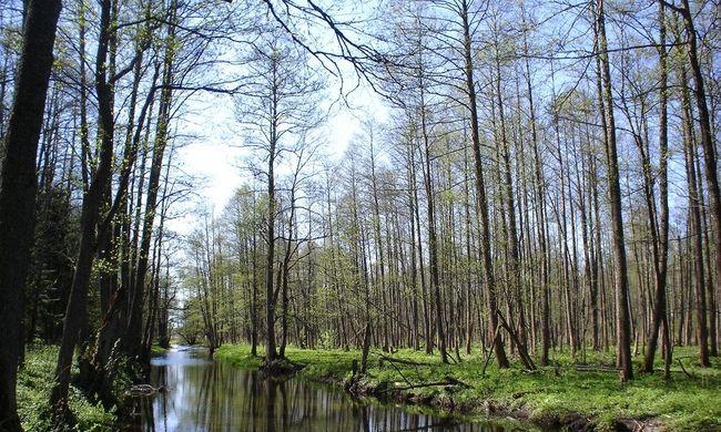 Tiltakozások ellenére megkezdték Európa legrégebbi ősrengeteg fáinak kivágását
