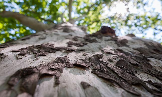 Különleges fa él az Alföldön, a 184 éves platánt speciális módon mentették meg