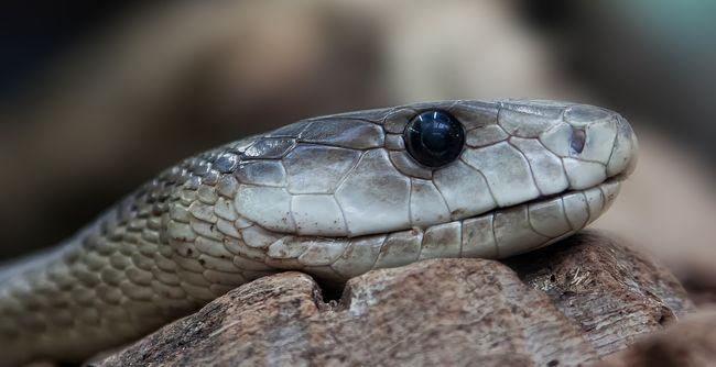 Péniszen harapott egy kígyó egy férfit, miközben a wc-n ült - az egész fürdőszoba vérben úszott - videó