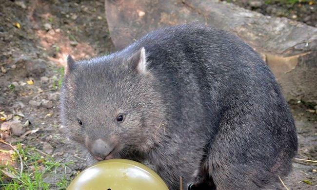 Az állatkerti állatokat is megajándékozták gyereknap alkalmából - képgaléria!