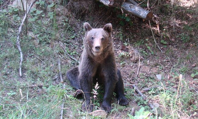 Túlélte a medvetámadást a férfi, saját lábán ment segítséget kérni