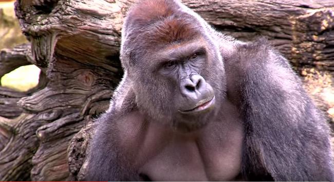 Lelőttek egy gorillát, mert  beesett hozzá egy kisgyerek