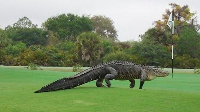Hatalmas aligátor sétált át a golfpályán - videó