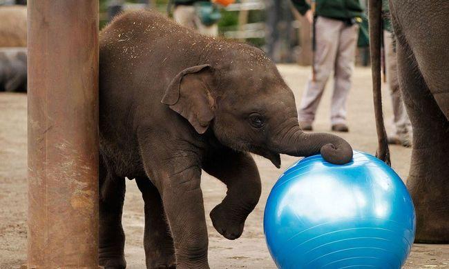 119 kilósan született a veszélyeztetett kiselefánt