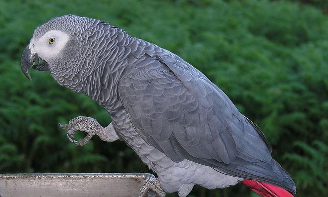 Egy papagáj lehet a gyilkosság egyetlen szemtanúja - videó