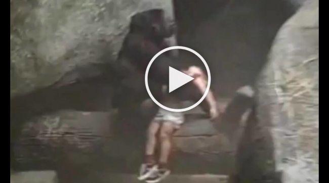 Itt egy másik videó: kisgyermek esett a gorillák közé!