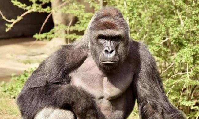 Pároztatni vitték, belehalt a gorilla