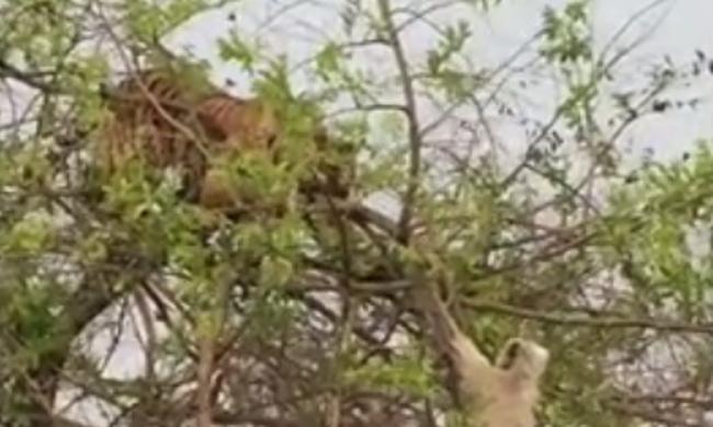 Így esett le a tigris a fáról, miután a majom túljárt az eszén - videó