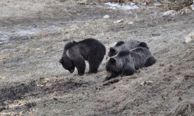 Szabadon engedtek egy medvét, hogy ne alakuljon ki beltenyészet a hegyekben - videó