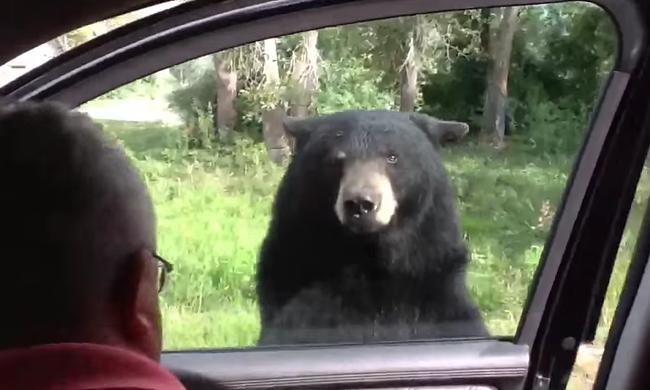 Pánikot keltett a medve, amikor a családra nyitotta a kocsi ajtaját - videó