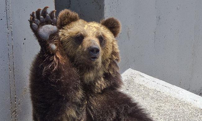 Négy embert ölhetett meg ugyanaz a medve május óta