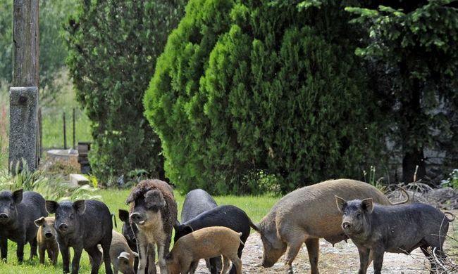Kilőtték a kiskerteket fosztogató disznókat Sopronban