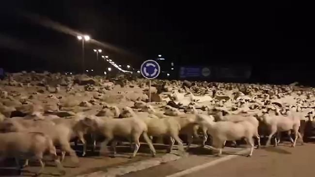 Több mint ezer birka rohanta le a várost, mert elaludt a pásztor - videó