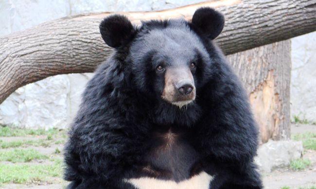 Kilőttek egy medvét, aztán kiderült: embert evett