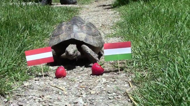 Magyar vereséget jósoltak az osztrák teknősök - videó!