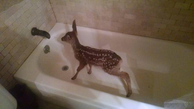 Fürdőkádból mentették ki az őzgidát