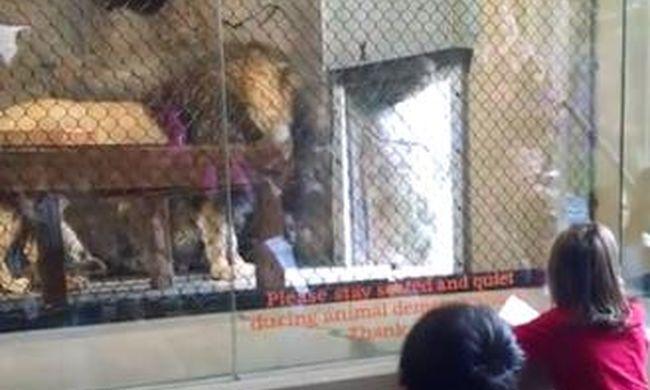 Gyerekek szeme láttára vágta le az ajtó az oroszlán farkát - videó