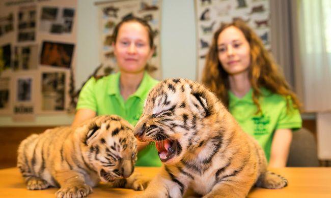 Tigrisneveket vár a veszprémi állatkert