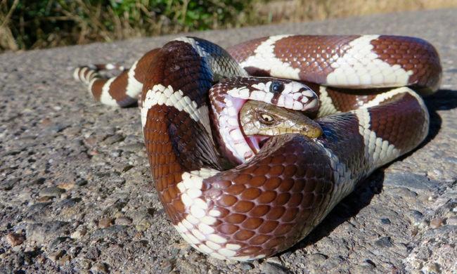 Megette a kígyó, de túlélte