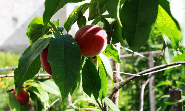 Ebből a gyümölcsből lesz idén kevesebb, nem múltak el nyomtalanul a fagyok