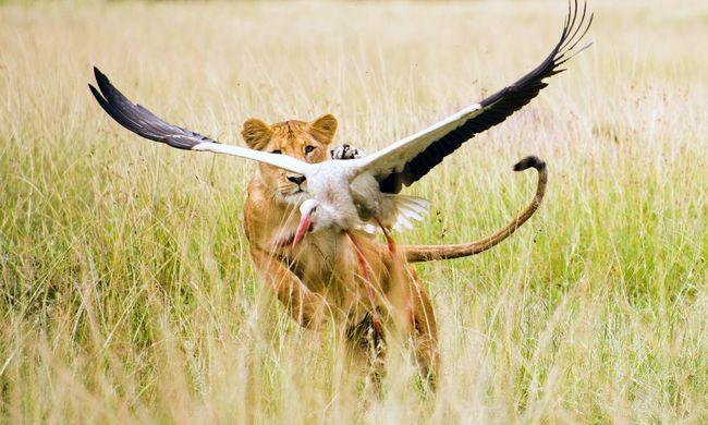 Elképesztő felvételek: így kapta el az oroszlán a gólyát