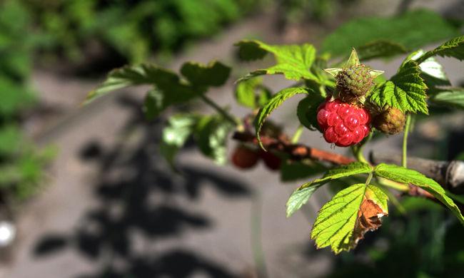 Tiltakoznak a termesztők, harminc éve nem volt ilyen alacsony a kedvelt gyümölcs ára