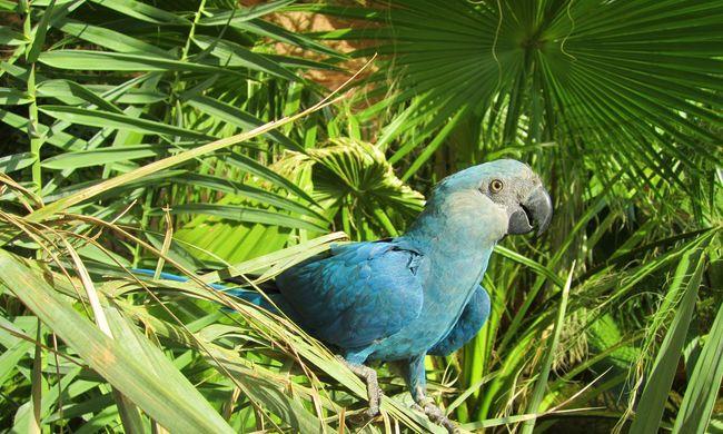 Orvvadásznál lehetett a kihaltnak hitt papagáj