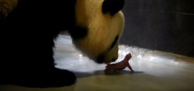 Pandaikrek születtek - videó