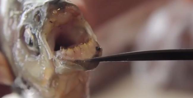 Emberi fogai vannak a halnak, és leharapja a férfiak heréit - rettegnek a helyiek