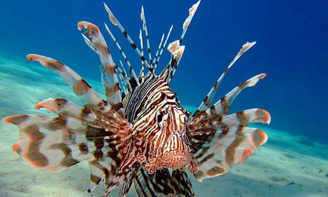 Halálos halak lepték el a melegedő Földközi-tengert