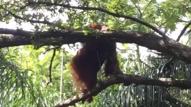 Így szökött meg az orángután az állatkertből - videó