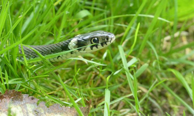 Megijedtek a gyerekek: hatalmas kígyó bukkant fel a házban