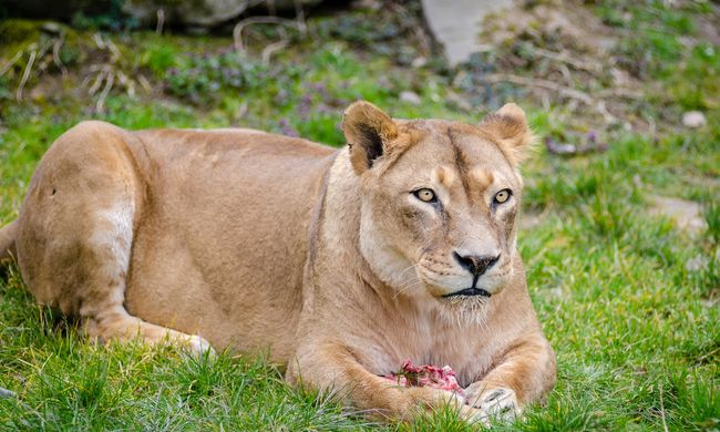 Fenékre festett szemekkel ússzák meg az oroszlántámadást