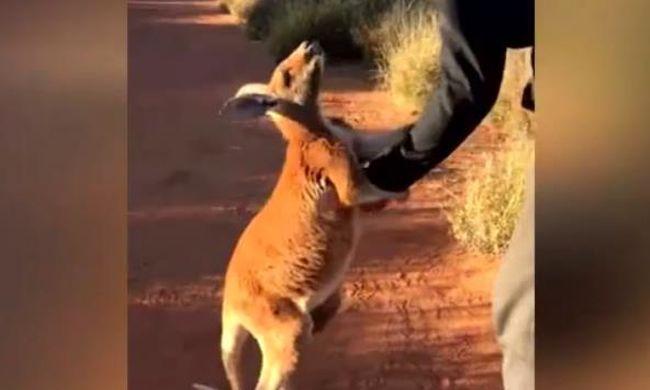 Hihetetlenül aranyos videó: nem engedi el megmentőjét a kengurubébi