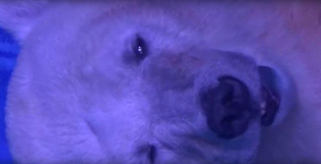 Kegyetlen kínzás: szűk helyen tartja a jegesmedvét a bevásárlóközpont, hogy a látogatók szelfizhessenek vele