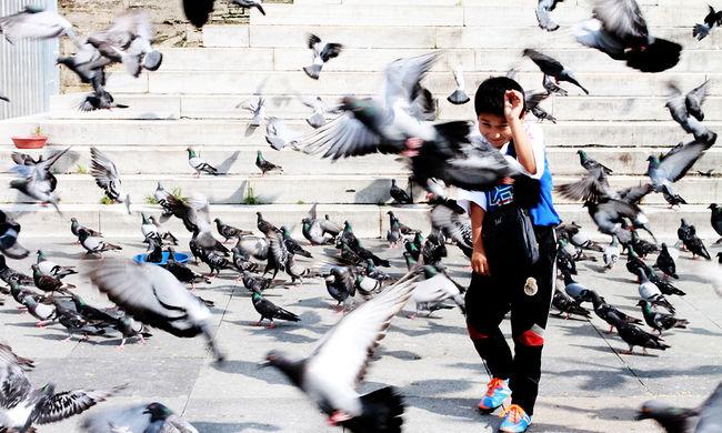 Fogamzásgátlóval csökkentenék a galambok számát
