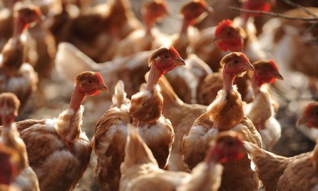 Meglepő eredmények: csirkeszaggal megelőzhető a betegség