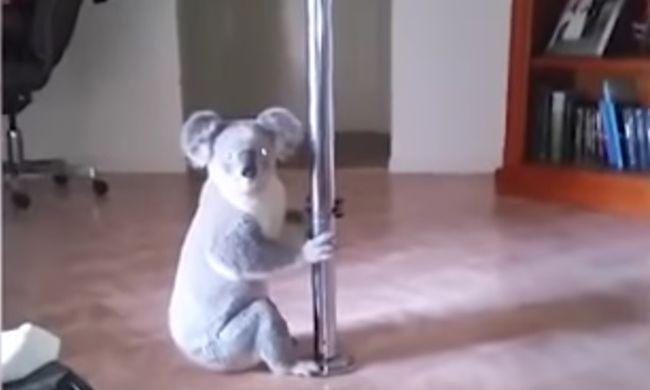 Ilyen, mikor a koala rúdtáncolni kezd - videó