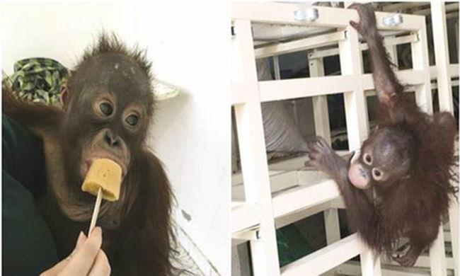 Kiutasították a majmot az országból, mert drogos volt