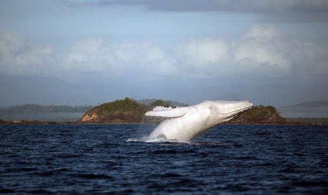 Rendőri felvezetést kapott a tengerben az albínó bálna