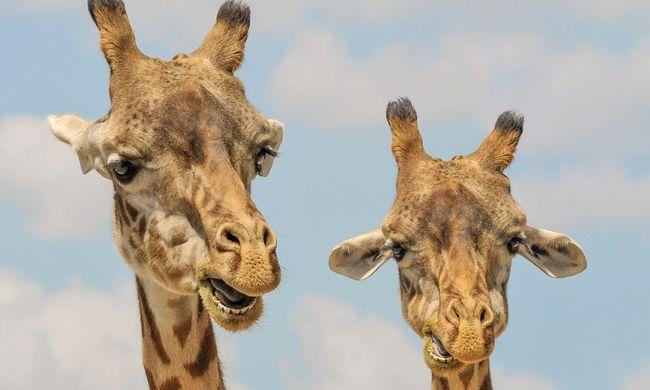 Kitörte a nyakát az állatkerti zsiráf