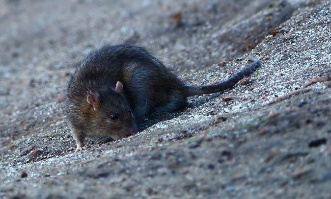 Kezelhetetlenné kezd válni a patkányhelyzet, már több mint 100 él egyetlen négyzetméteren ebben a városban