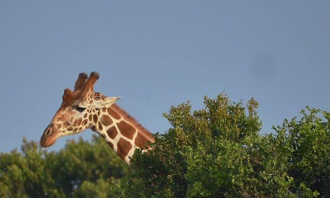 Félelmében szörnyethalt a pánikbeteg zsiráf