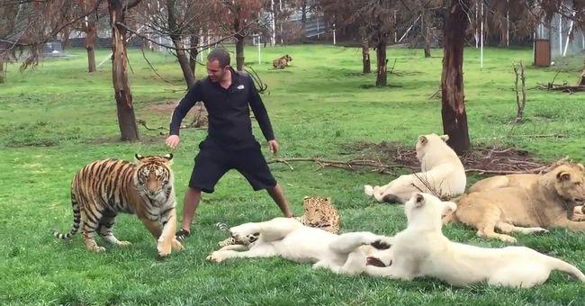 Emberre támadt volna a leopárd, ha a tigris nem lép közbe - videó