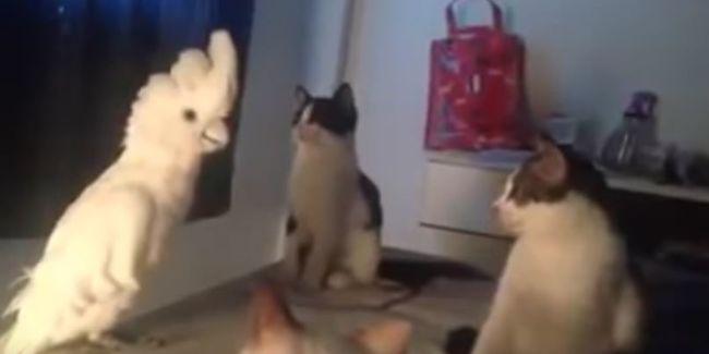 Őrületes videó: macskának álcázza magát a papagáj