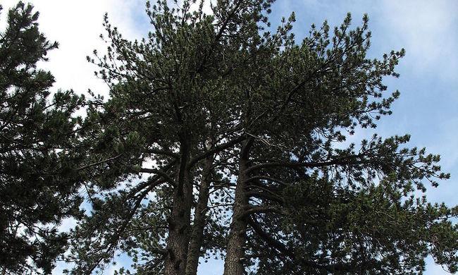 1075 éves Európa legidősebb fája