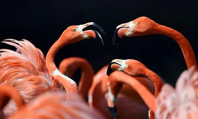 30 év után tértek vissza a flamingók a Dunához