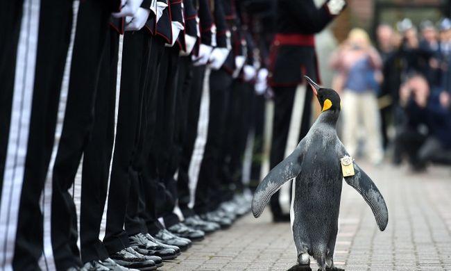 A királyi gárda legújabb tagja egy pingvin