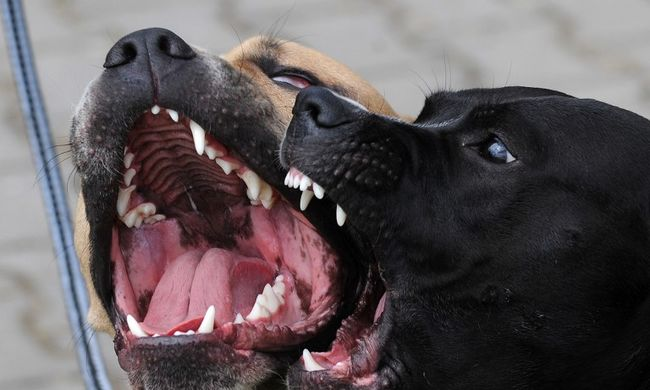 Megvadult harci kutyák gyilkoltak