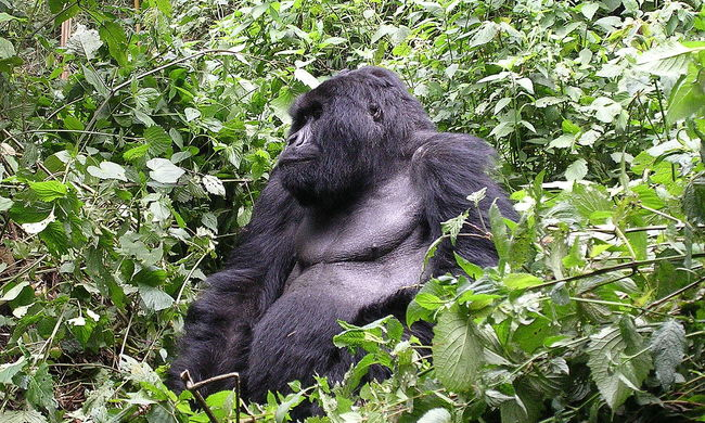 """Erre senki sem számított, egy """"gorilla"""" segített rendőrkézre keríteni a szatírt"""